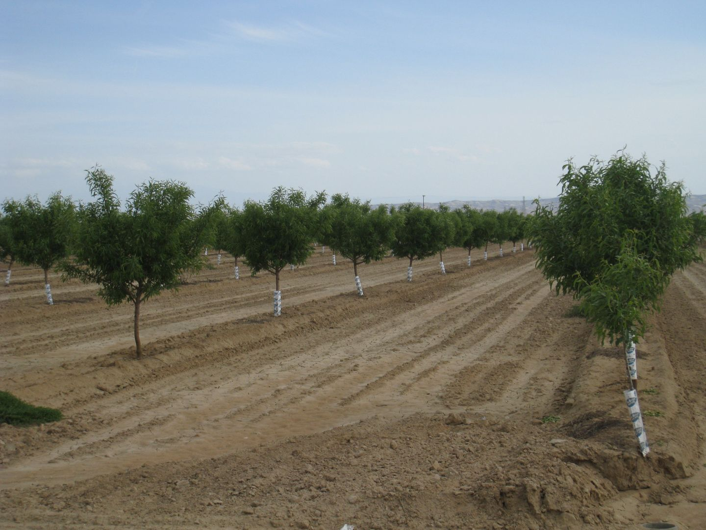 agroforestry carbon sequestration california central valley orchard close