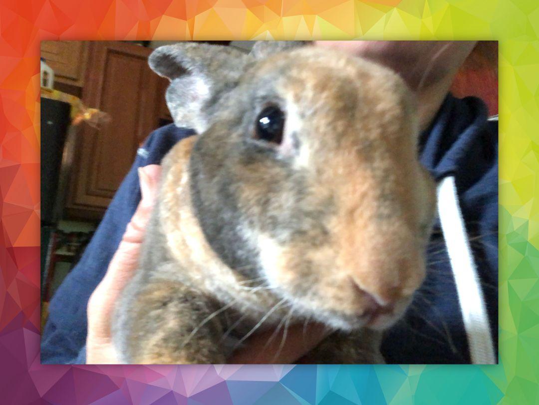 Rabbit: Toffee